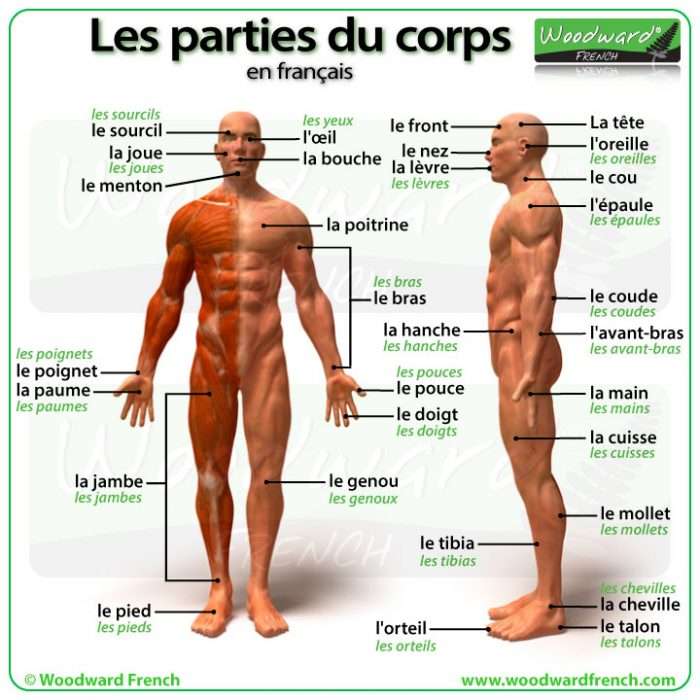 Parts of the body in French. Les parties du corps en français.